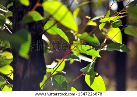 Trees sprouting new leaves after bush fires Australia Stock photo © lovleah