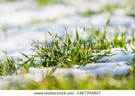 Melting snow on green grass close up Stock photo © boggy