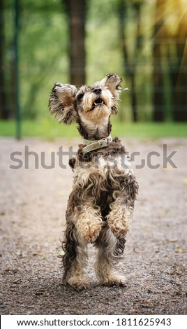 Miniature Schnauzer standing in two legs in a black studio backg Stock photo © vauvau