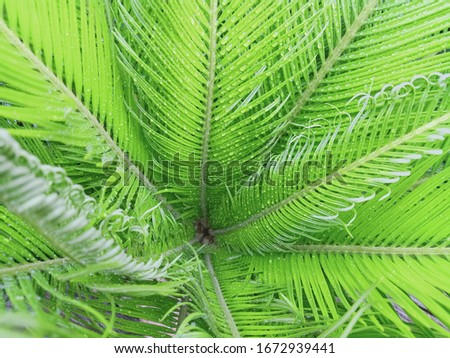 Stock photo: Close-up evergreen palm leaves with droplets of water, shallow depth of field. Tropical plant backgr