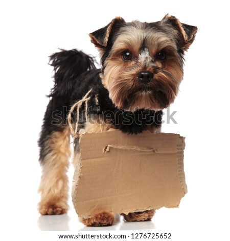 adorable yorkshire terrier wearing empty carton sign looks to si Stock photo © feedough