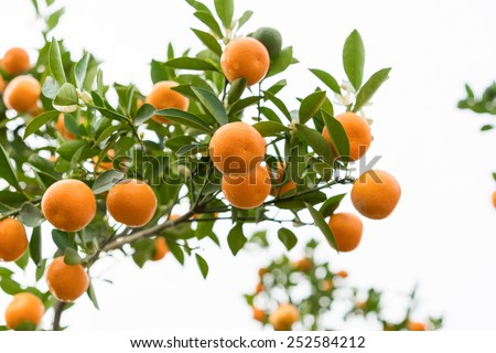 Kumquat, the symbol of Vietnamese lunar new year. In nearly every household, crucial purchases for T Stock photo © galitskaya