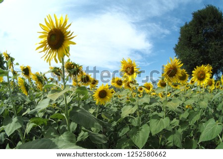 Big Field of Gold Sunflowers under the Bright Sun and Blue Sky Stock photo © maxpro