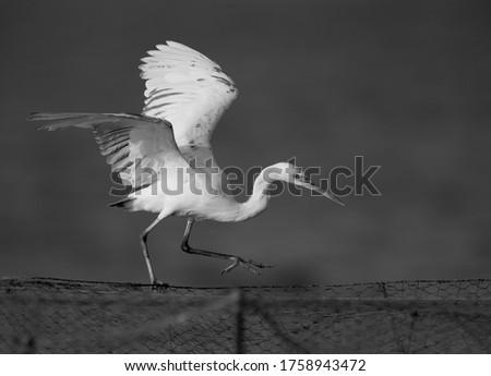 A white Western Reef Heron (Egretta gularis) landing in defence  Stock photo © davemontreuil