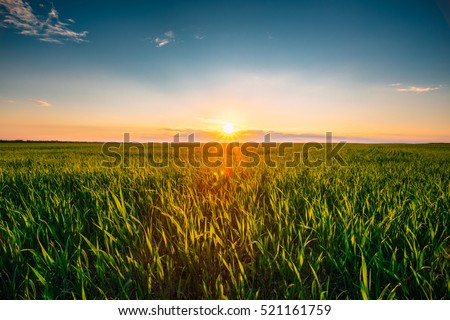 Stock photo: Beautiful Wheat Field under Blue Sky with Dramatic Sunset Clouds