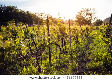 grape harvesting in a vineyard in kakheti region georgia woman stock photo © yatsenko