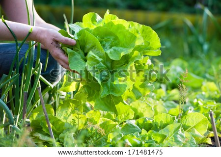 Gardener picking fresh lettuce from her garden . Fresh green curly Lettuce salad background. Top vie Stock photo © Virgin
