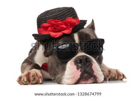 adorable american bully wearing black hat and sunglasses rests Stock photo © feedough