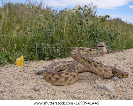 Adult Pacific Gopher Snake (Pituophis catenifer catenifer) head. Stock photo © yhelfman