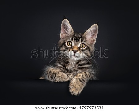 Cute brown tabby with white maine coon kittenlaying down facing fronta, looking at lens with brown e Stock photo © CatchyImages