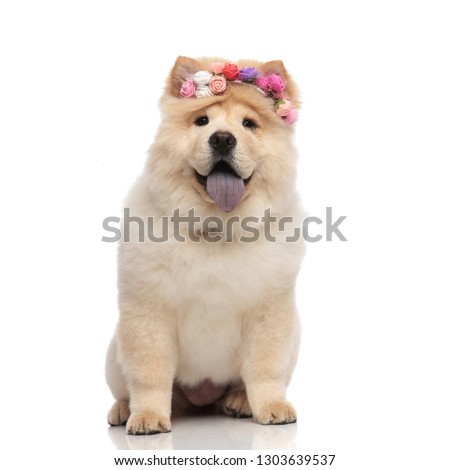 happy chow chow wearing colorful flowers crown panting and sitti Stock photo © feedough