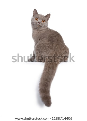 Pretty young solid cinnamon British Shorthair cat , isolated on white background  Stock photo © CatchyImages