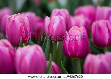 bouquet · coloré · tulipes · blanche - photo stock © vapi