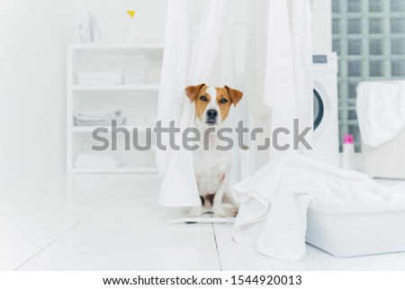 Coup jack russell terrier buanderie chambre blanche Photo stock © vkstudio