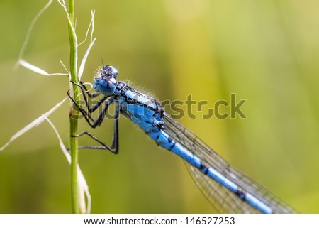 blue damselfly enallagma cyathigerum stock photo © chris2766
