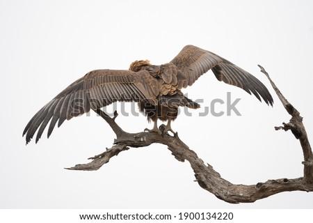 ストックフォト: イーグル · 小さな · アフリカ · 翼 · 栄光