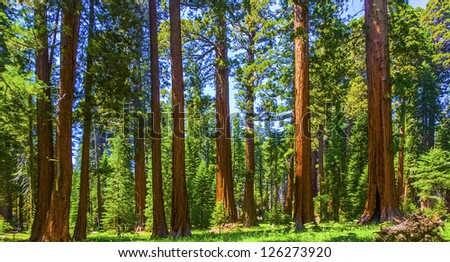 famous big sequoia trees are standing in Sequoia National Park Stock photo © meinzahn