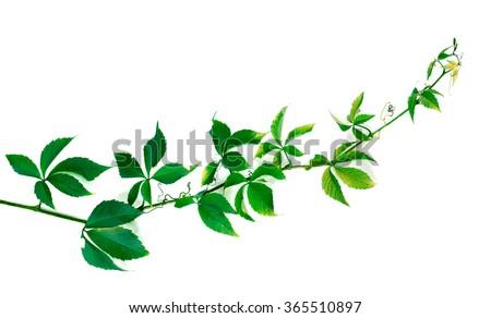 green twig of grapes leaves parthenocissus quinquefolia foliage stock photo © bsani