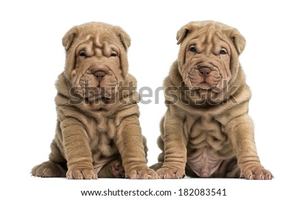 Shar pei sitting in the white studio and looking into the camera Stock photo © vauvau