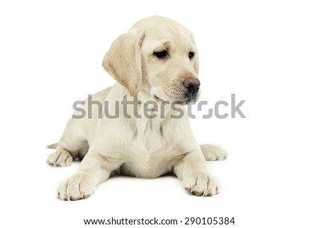 puppy labrador retriever lying and looking sideways in a white studio Stock photo © vauvau