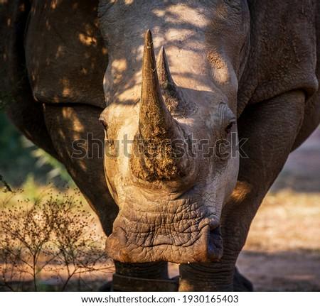 white rhino starring at the camera stock photo © simoneeman