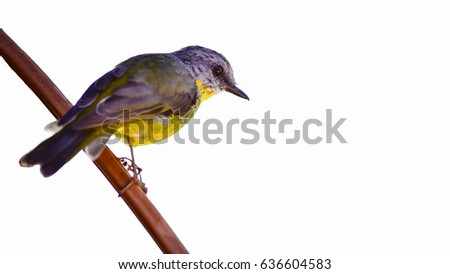 Eastern Yellow robin or Eopsaltria australis isolated on white Stock photo © shawlinmohd