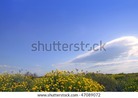 Asteraceae, Helichrysum stoechas yellow flowers under blue sky, nature Stock photo © lunamarina
