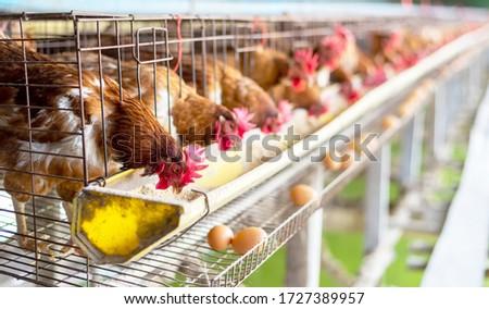 Trimming Chicken stock photo © Dar1930
