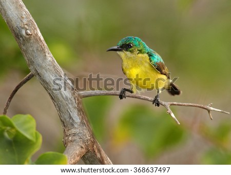 Collared sunbird (Hedydipna collaris) female perched on a branch Stock photo © davemontreuil