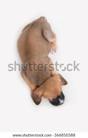 funny ears mixed breed brown dog lying in black studio backgroun stock photo © vauvau