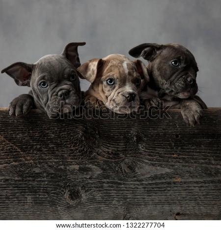 ストックフォト: 3 · かわいい · アメリカン · 子犬 · 立って