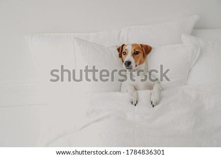 фото небольшой собака Ложь удобный кровать Сток-фото © vkstudio