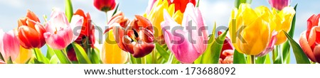 Beautiful Red Tulip Flower in Field under Spring Sky in Bright Sunlight Stock photo © maxpro
