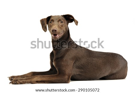 Stock photo: beautiful flying ears mixed breed dog relaxing in white studio