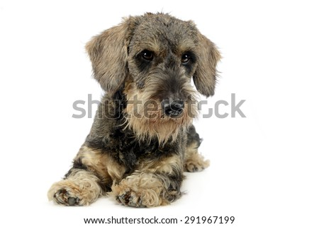 Stock photo: lovely puppy wired hair dachshund lying in white photo studio