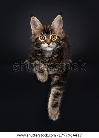 tortie multi colored maine coon kitten cat laying down facing front isolated on white background stock photo © catchyimages