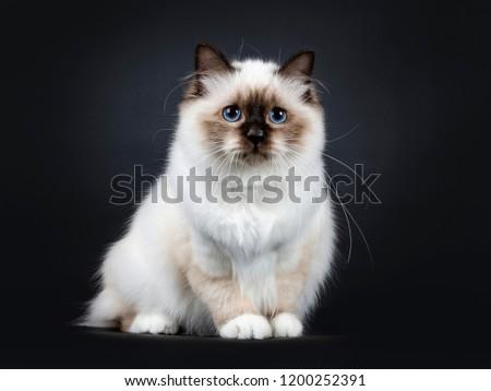 Ottimo sigillo punto sacro cat gattino Foto d'archivio © CatchyImages