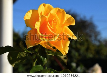 the red flowers of rose against light blue sky with white clouds stock photo © traven