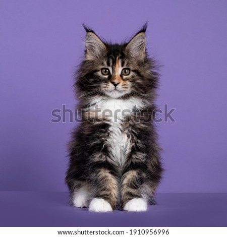 cute tortie maine coon cat kitten isolated on white background stock photo © catchyimages
