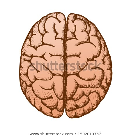 testa · organo · cervello · umano · top · view · vintage - foto d'archivio © pikepicture