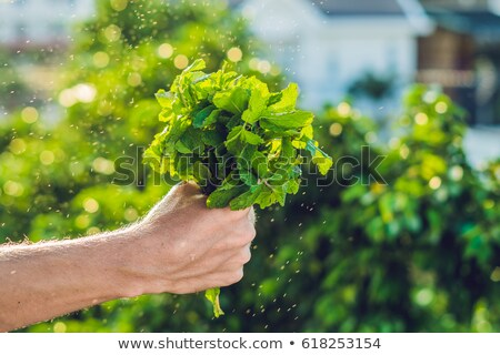 A bunch of mint in hand and a splash of water against the green background Stock photo © galitskaya
