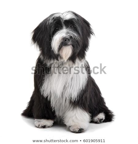 Adorável terrier sessão branco cão Foto stock © vauvau