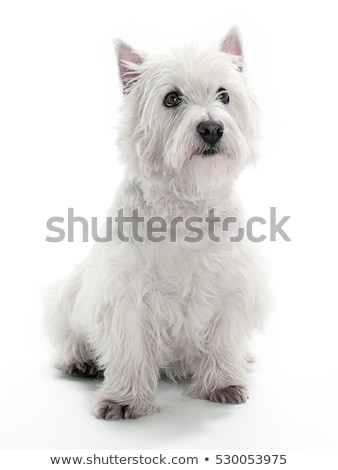 Stúdiófelvétel imádnivaló nyugat fehér terrier ül Stock fotó © vauvau