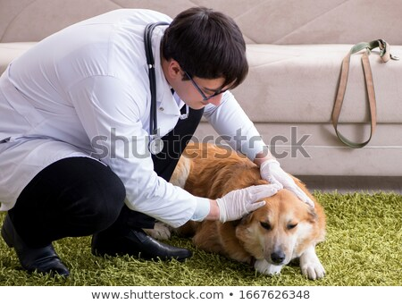 Vet doctor examining golden retriever dog at home visit Stock photo © Elnur
