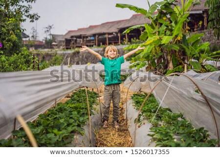 Strawberry plantation in Bali in the Bedugul area. Happy cute kid boy picking and eating strawberrie Stock photo © galitskaya