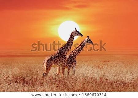 Zürafa gün batımı aile zürafalar Afrika fil Stok fotoğraf © macropixel