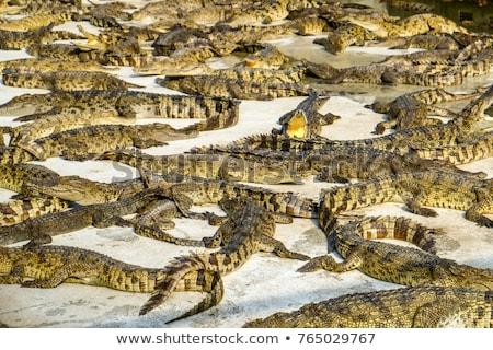 krokodil · nyitva · állkapocs - stock fotó © poco_bw