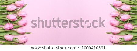 Pink background with tulips stock photo © nurrka