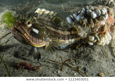 Sarcastic Fringehead Fish Eyes Stock photo © Laracca