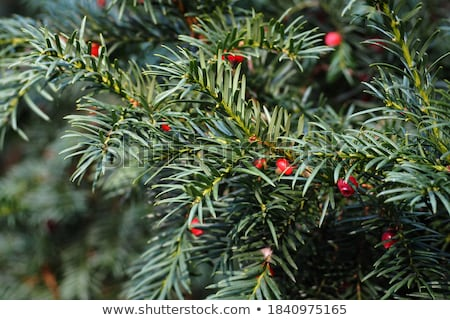 Shrub with Needle-like Leaves Stock photo © lorenzodelacosta